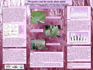 Phragmites and the Mealy Plum Aphid
