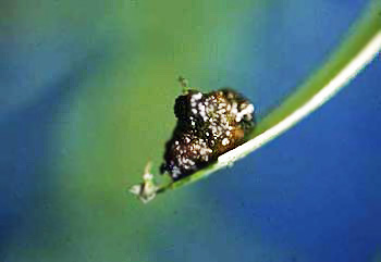 Lily Leaf Beetle Photo Identification Guide