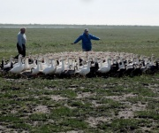 Polar bears, grizzly bears make URI scientist's goose research a challenge