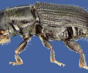 URI entomologists on the lookout for new insect invader