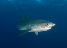 Longest ever tiger shark tracking reveals remarkable, bird-like migrations