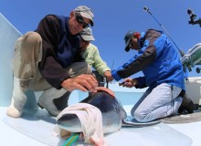 "CELS researcher uses ""shark race"" to study movement patterns of Mako sharks"
