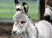 URI's Peckham Farm surprised by birth  of baby guard donkey