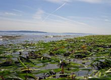 CELS researcher: Eelgrass on decline in Rhode Island waters