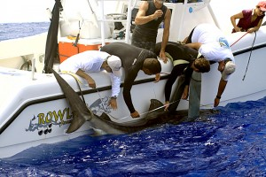 Brad Weatherbee (right in white shirt ) had plenty of help in tagging this shark off Bermuda. The tracking device is attached to the dorsal fin and its signal is picked up by satellite.