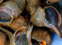 Whelks Go On Hunger Strike