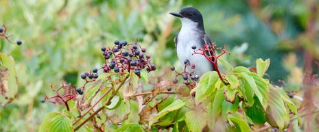 a fact sheet detailing the highest valued native plants to migratory songbirds based on nutritional content of the plants.