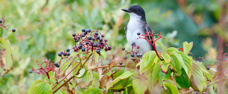Fact sheet detailing the highest valued native plants to migratory songbirds based on nutritional content of the plants.