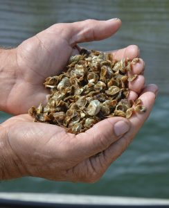 GSO. seed oysters ready for grow-out in coastal ponds. Photo: Coastal Resources Center