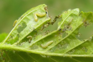3 leaf with 2nd and 3rd instar caterpillars