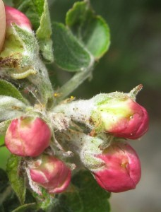 5 apple buds pulled apart to show winter moth inside