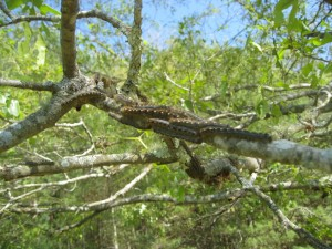 forest tent caterpillars together