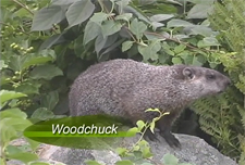 Woodchuck Video