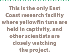 This is the only East Coast research facility where yellowfin tuna are held in captivity, and other scientists are closely watching the project.