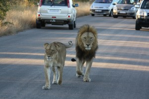 Lions, open air safari drive in Kruger National Park