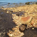Ancient tree stumps uncovered at moon-low low tide off the shore of Block Island.